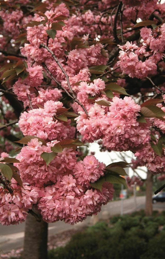 Prunus 039 Kanzan 039 Japanese Flowering Cherry Tree In A 12l Container Flowering Cherry Tree Japanese Flowering Cherry Cherry Tree