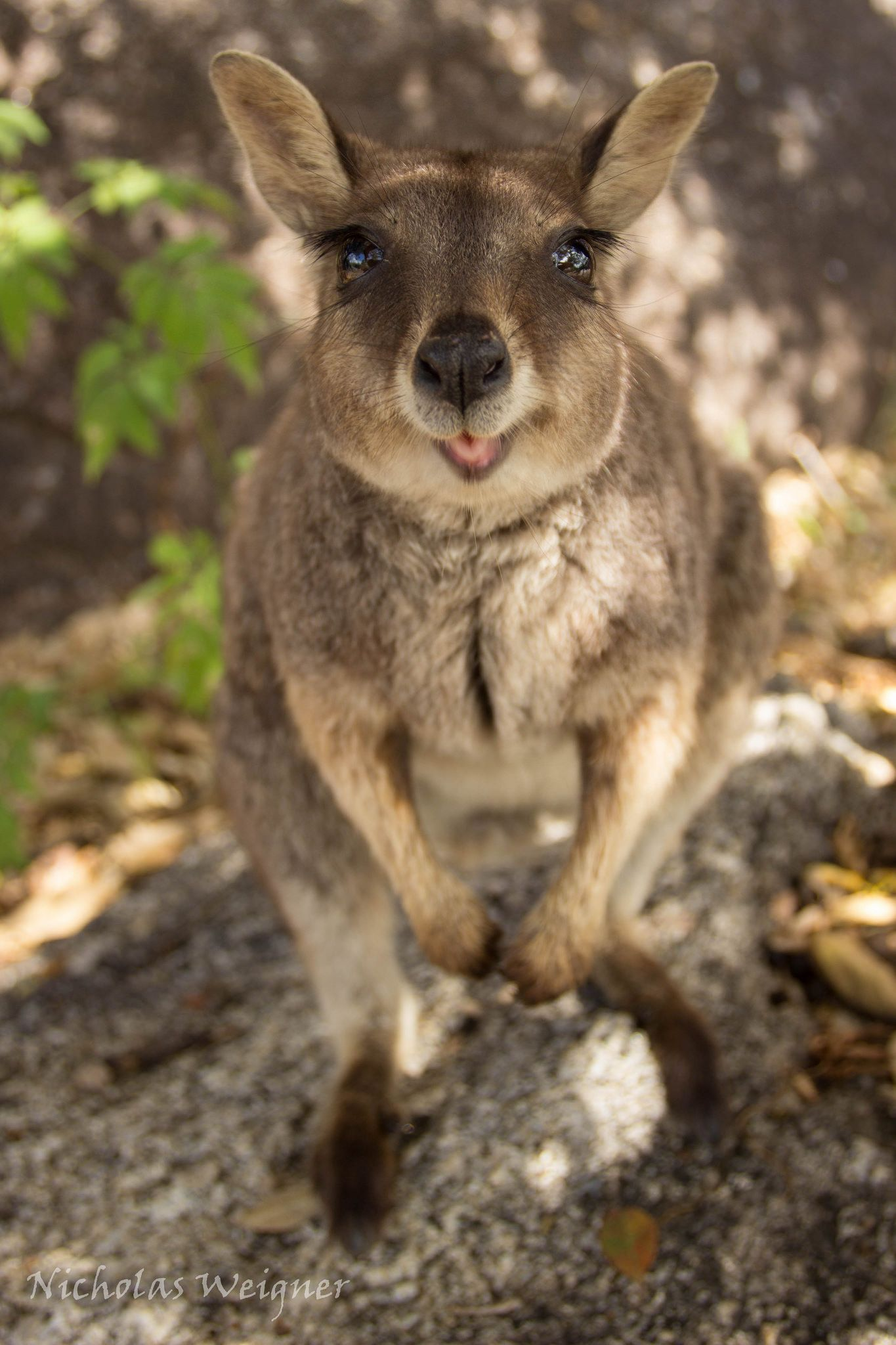 Mareeba Rockwallaby Australian animals, Animals
