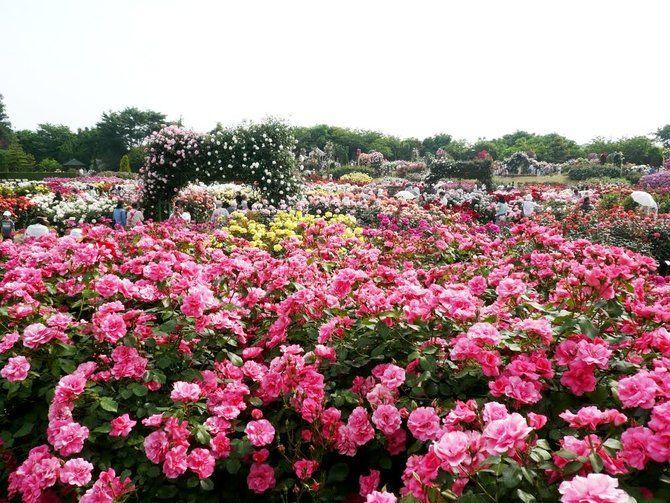 Warna Warni Lautan Bunga Di 5 Kebun Mawar Terindah Dunia Merdeka Com