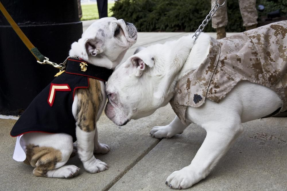 The Outgoing Marine Corps Mascot Sgt Chesty Xiii Right Nuzzles The Incoming Marine Mascot Private First Class Chesty Xiv English Bulldog Bulldog War Dogs
