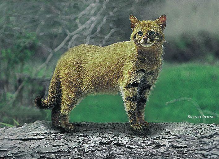 Gato del pajonal | Felinos, Animales, Felino
