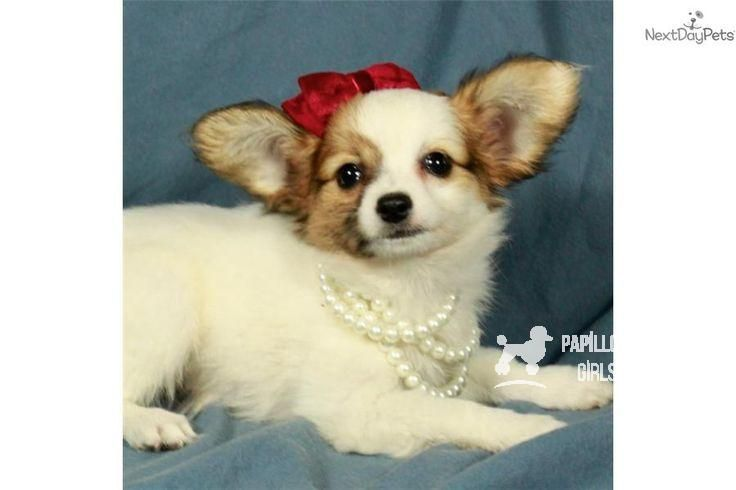 You Ll Love This Female Papillon Puppy Looking For A New Home You