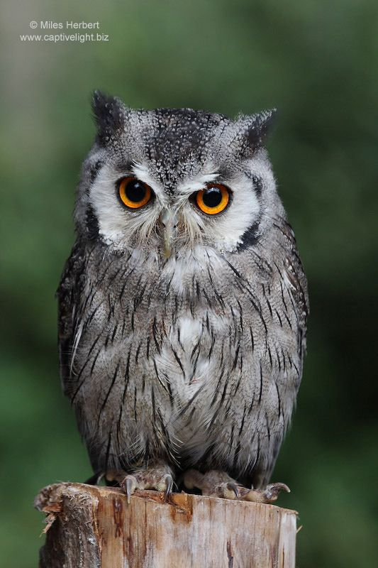 owl pictures  Southern Whitefaced Owl  Ptilopsis granti