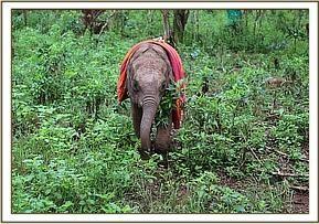 AMBO - Elephant Orphan History - David Sheldrick Wildlife Trust