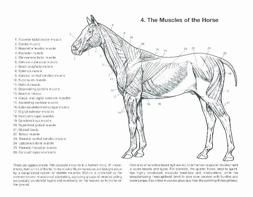 - Printable Horse Anatomy Worksheets Free Printable Anatomy Coloring Pages –  Sreepeetham In 2020 Horse Anatomy, Horses, Animals