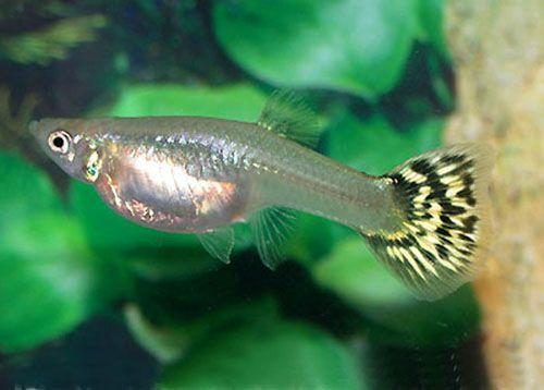 Breeding Guppies Fresh Water Fish Tank Guppy Fish Pet