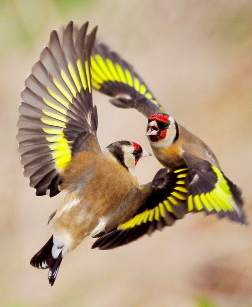 two goldfinches have a mid