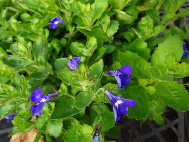 Hot Brilliant Blue Lobelia Our Plants Annuals Plants Garden Hot