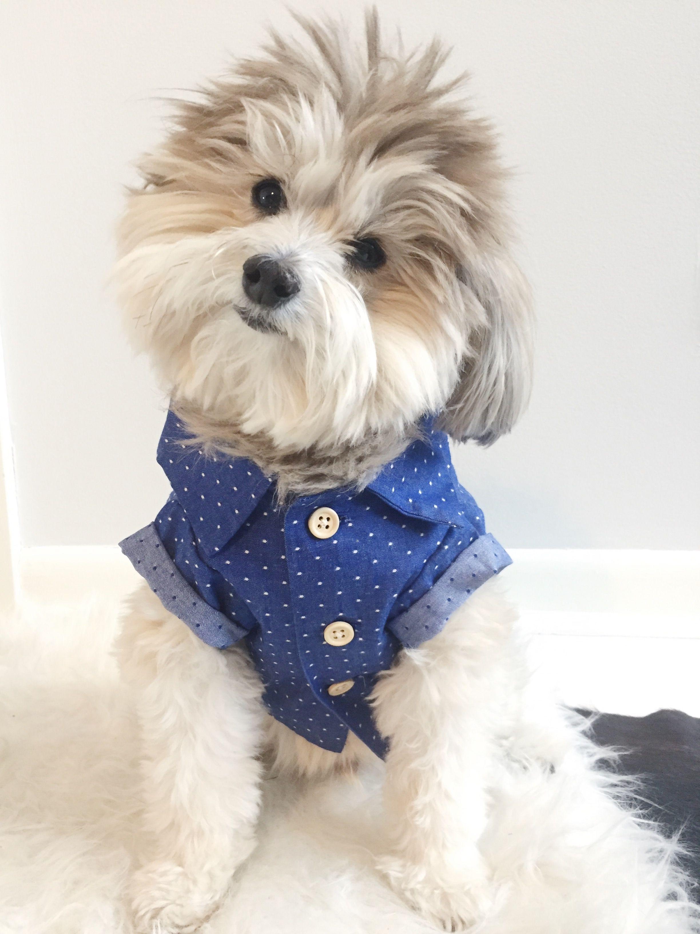 Cute Pomapoo Dog Wearing Dog Threads Button Down Shirt Dog
