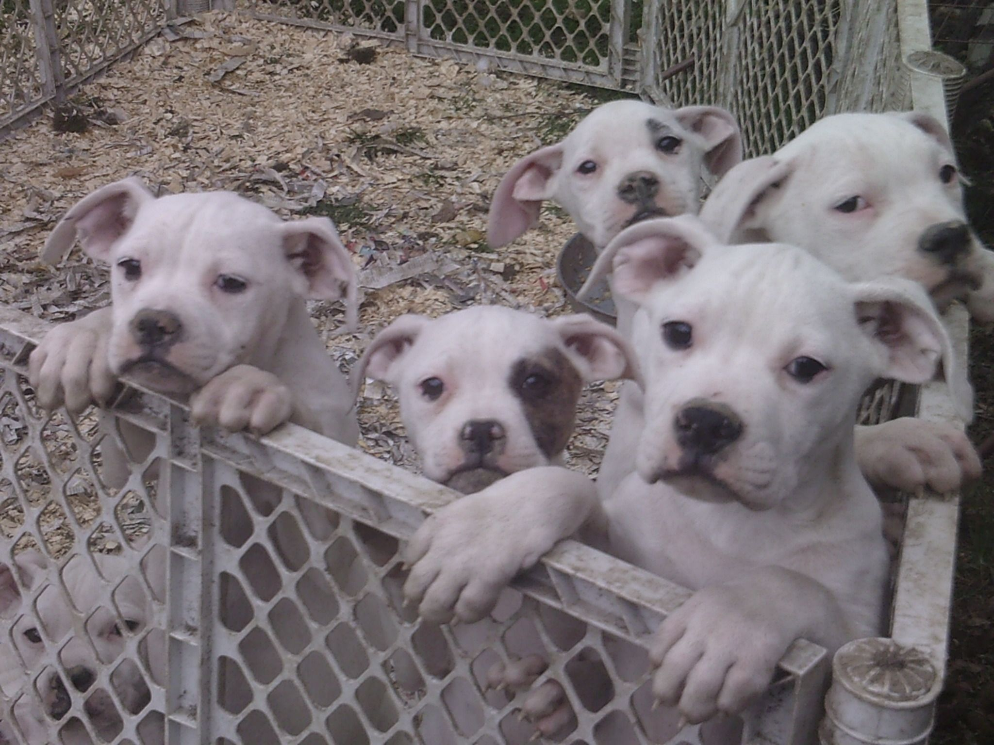 Johnson American Bulldog Pups At 4 Months Old Dalmatian Puppies For Sale Puppies American Bulldog Puppies