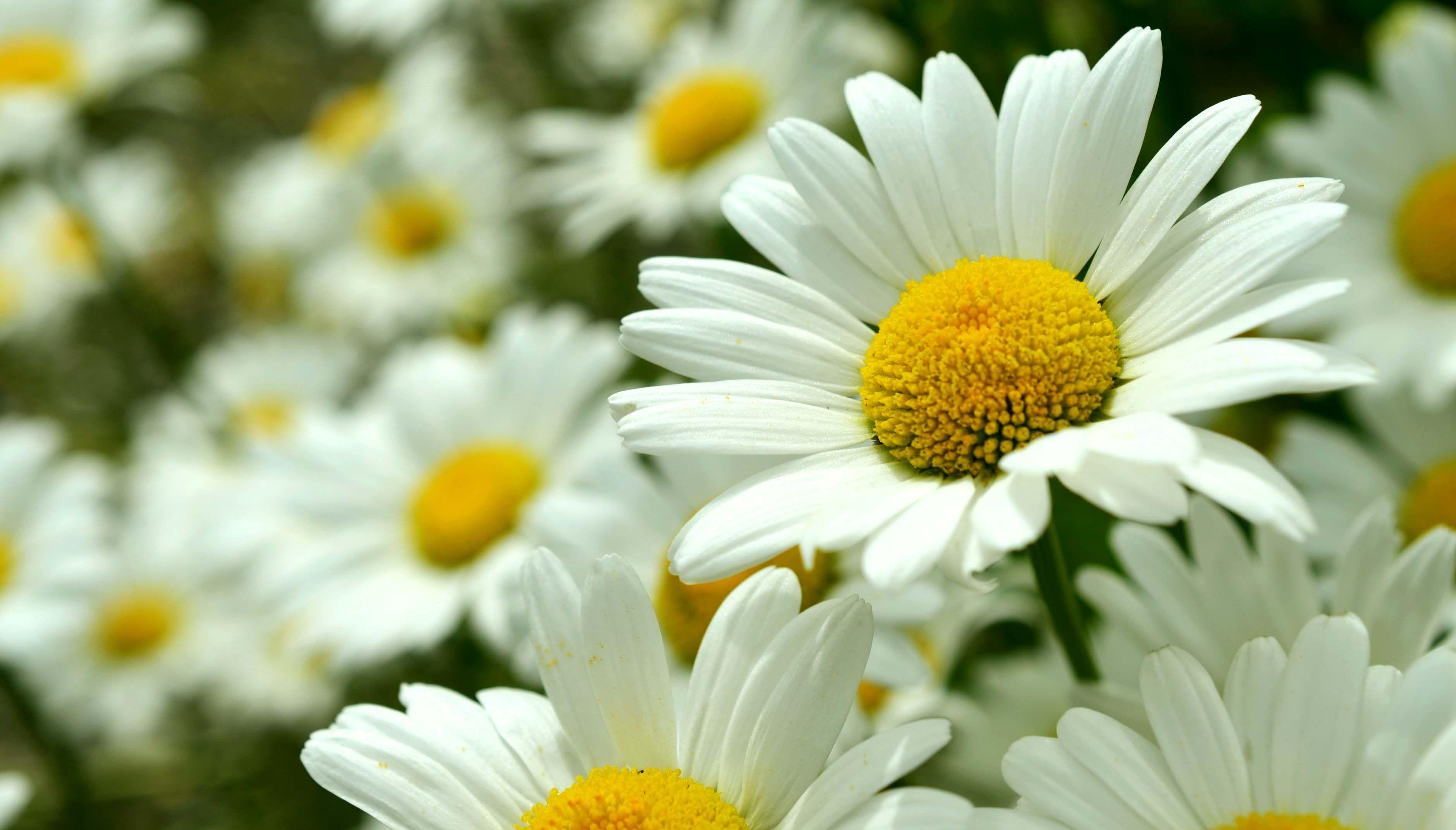 Daisy flower april birth flower tats pinterest april birth daisy flower april birth flower izmirmasajfo