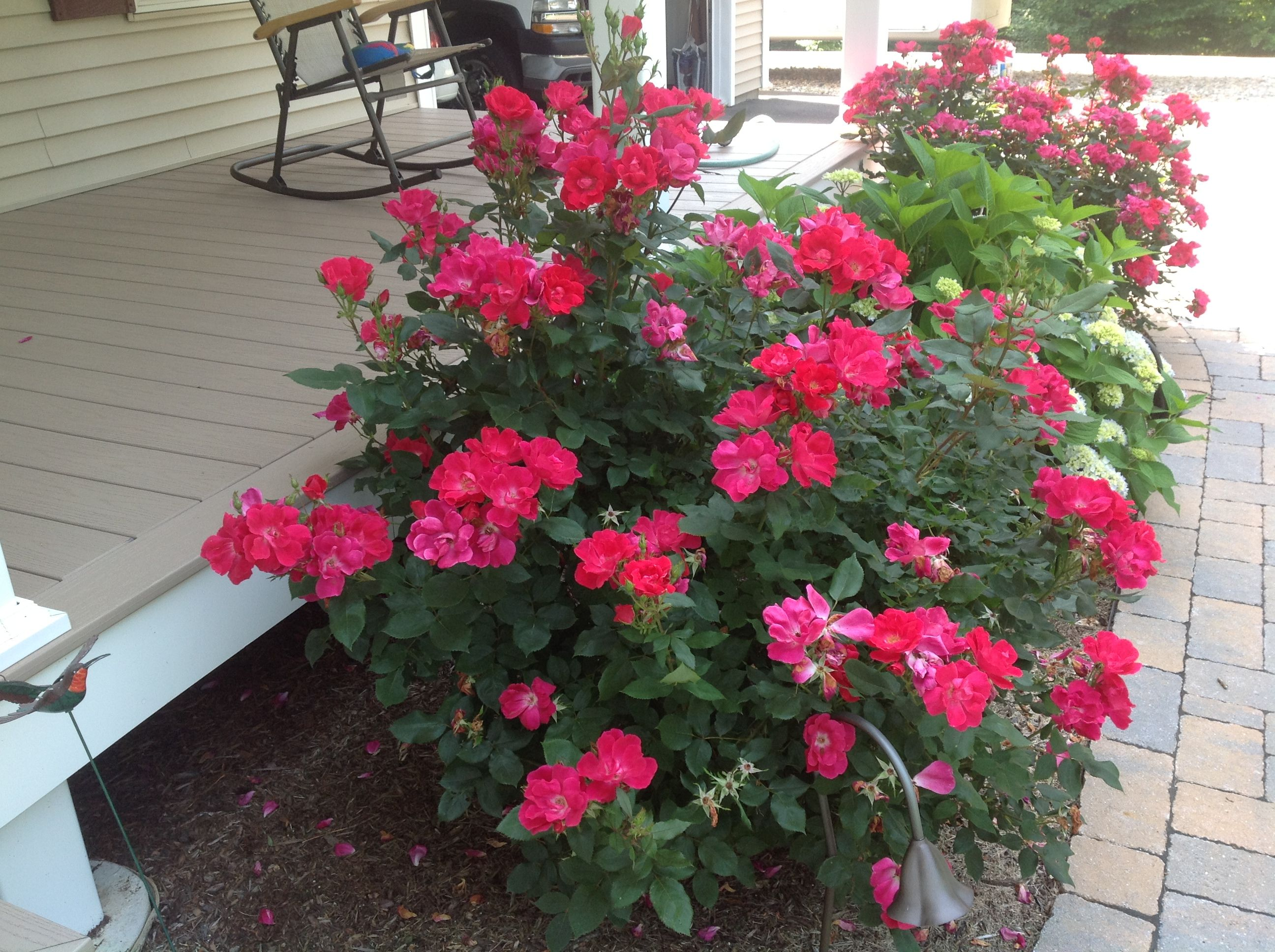 Knockout rose bush...branches can root without flowers