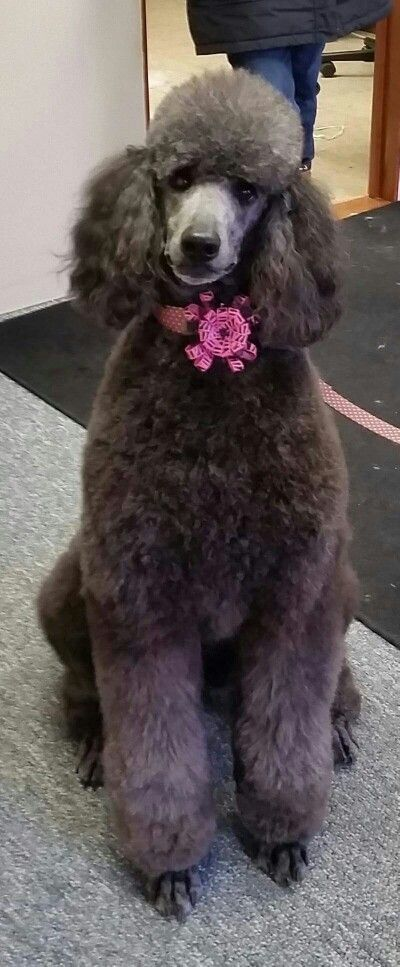 Pretty In Pink Poodle Poodle Dogs Poodle Grooming