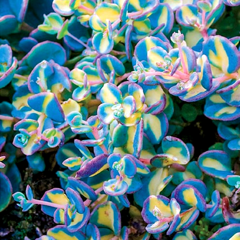 Variegated Creeping Blue Sedum