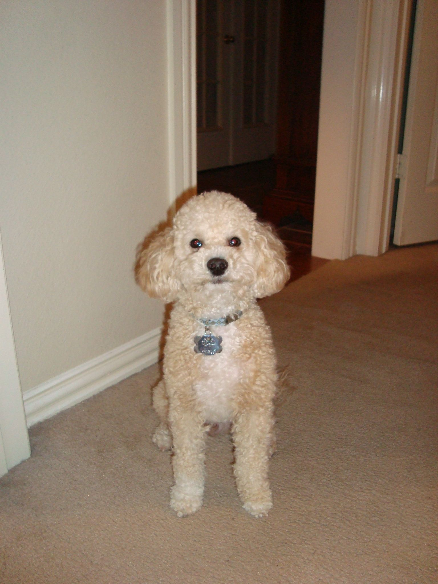 Cavapoo (Oakley) (With images) Cavapoo, Dogs, Animals