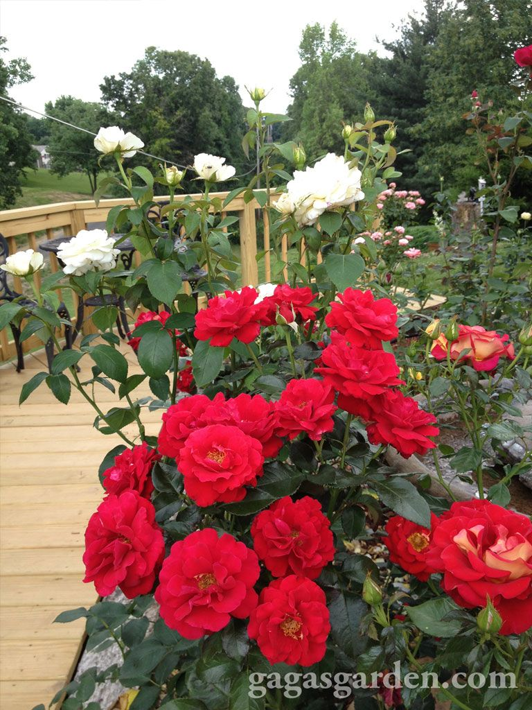 Drop Dead Red With Images Red Roses Rose Pictures Hybrid Tea