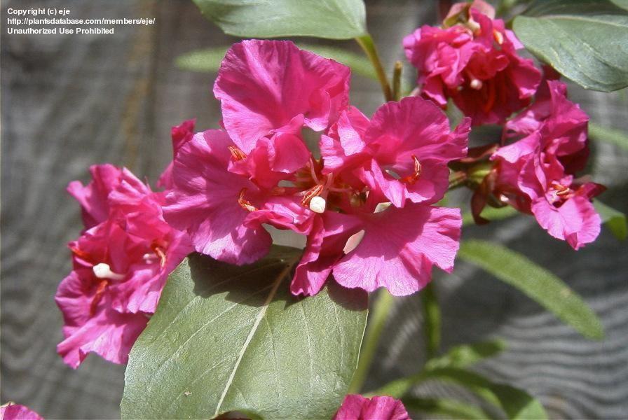 Today S Bloom Is Clarkia Clarkia Unguiculata Bloom Flowers My Flower