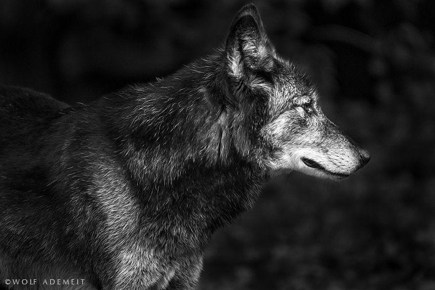 grey wolf profile by Wolf Ademeit, via 500px   Wolf, Wolf ...