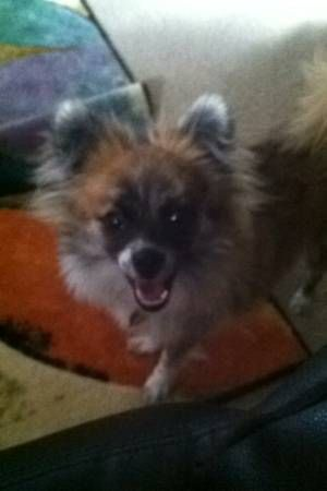 Lost Pom Mix Puppy Reward Dorr Katelynn Contact By Phone 616 885 6749 Reply By Email 5hpvb 481888145 Pomeranian Mix Puppies Pomeranian Mix Pomeranian