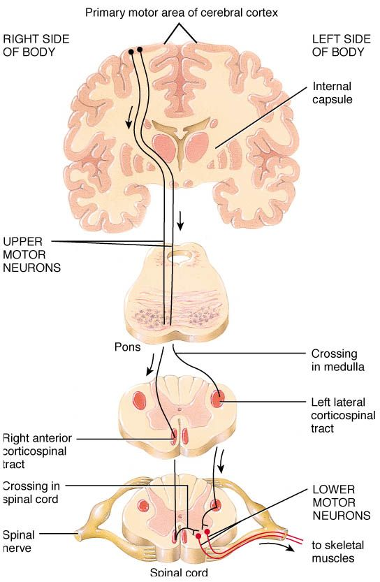 Upper Motor Neuron Vs Lower Motor Neuron Google Search