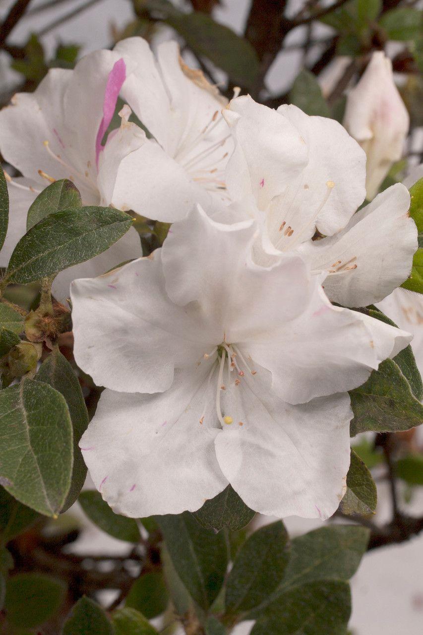 Autumn Lily Encore Azalea White Flowering Shrubs Flowering Shrubs Azaleas