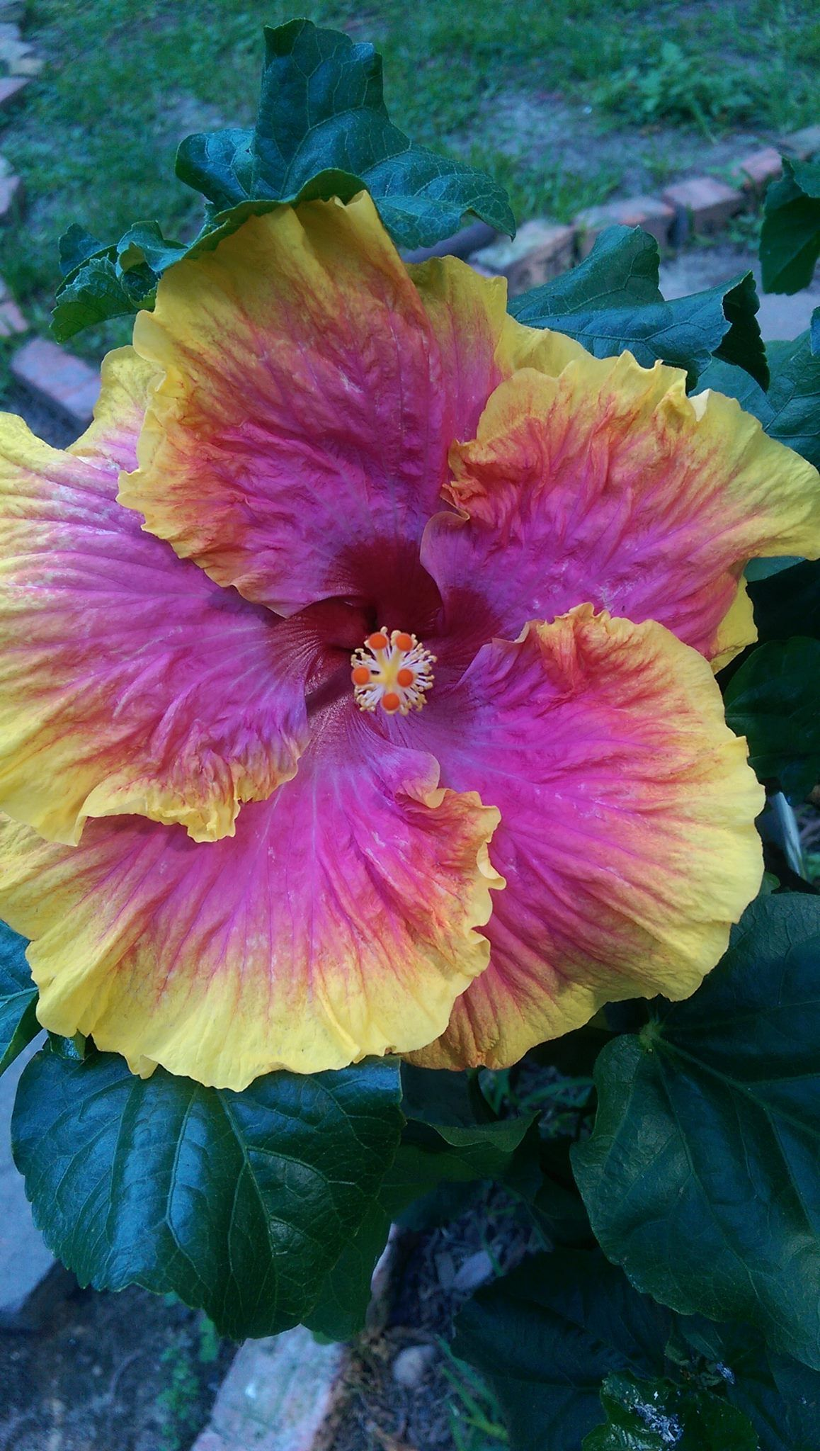 Pink Lemonade Hibiscus Just Planted This One Home And Garden