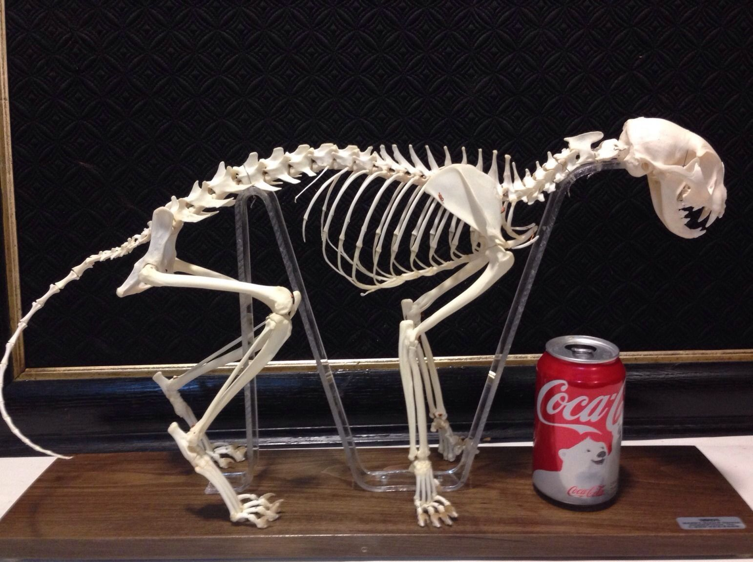 Beautiful Cat Skeleton Oddity Taxidermy /fox/lion/cat