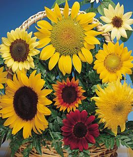 Sunflower Seeds Snack Giant Dwarf Garden And Pollenless Flowers At Burpee Com Sunflowers And Daisies Annual Flowers Flowers