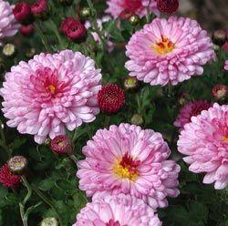 Chrysanthemum Indicum Hybride Anastasia Herbst Chrysantheme