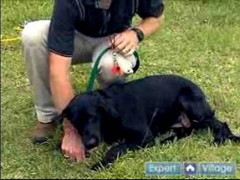 Train Your Bird Hunting Dog To Lay Down On Command In This Free