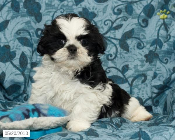 Delbert Shih Tzu Puppy For Sale In Sacramento Pa Shih Tzu