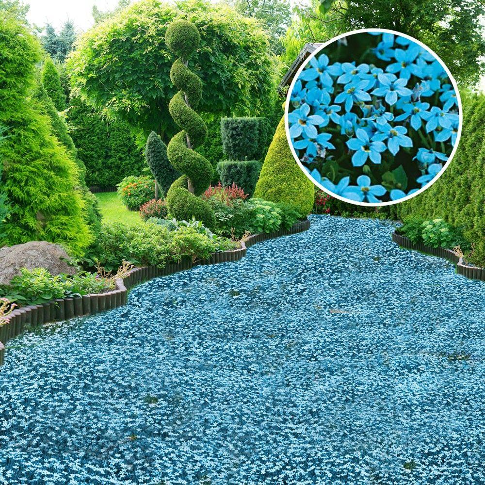 Bodendecker 'Blauer Stern' Isotoma fluviatilis – Bestellnummer 10096