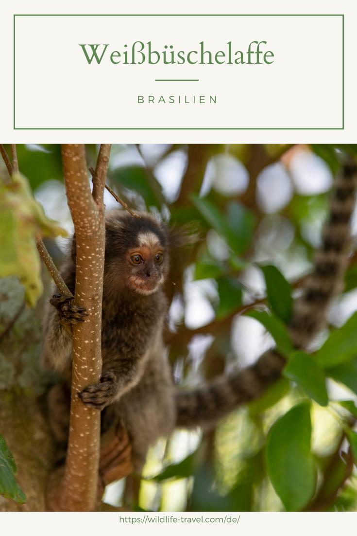 Weissbuschelaffen Am Zuckerhut In Rio De Janeiro Brasilien Rio De Janeiro Brazil Mammals
