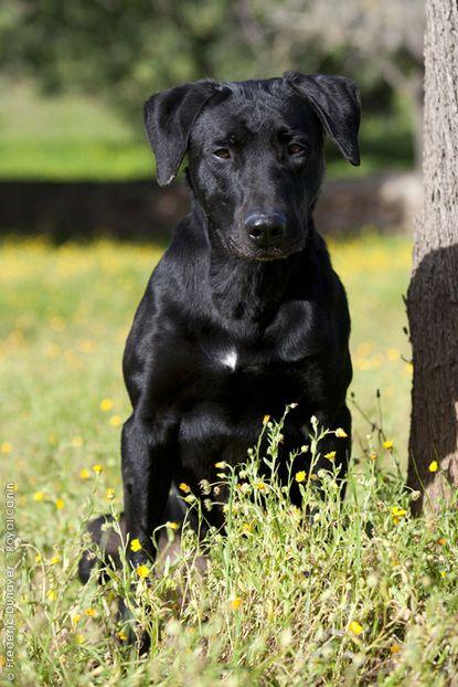 Majorca Shepherd Dog Ca De Bestiar Perro De Pastor Mallorquin