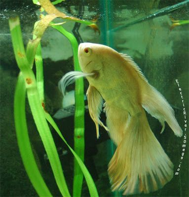 long-finned Oscar - I wish I had known before I bought mine :(