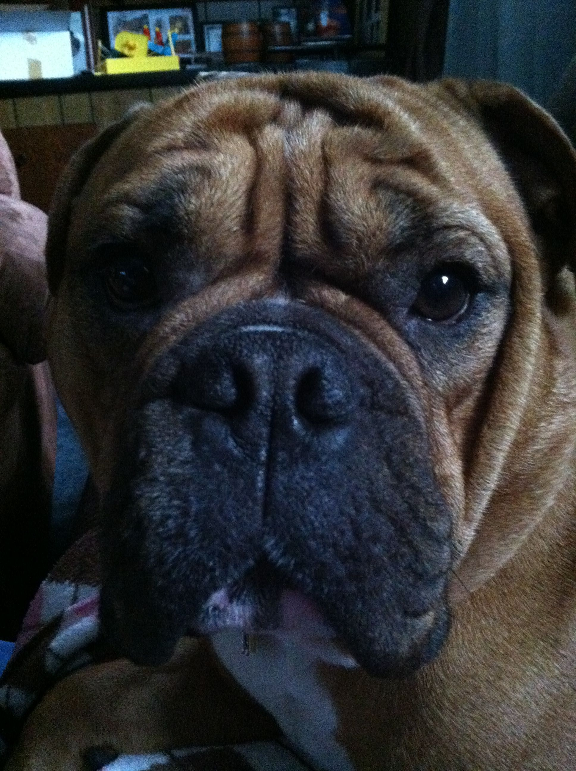 Valley Bulldog, Boxer / English bulldog mix   Boxer ...