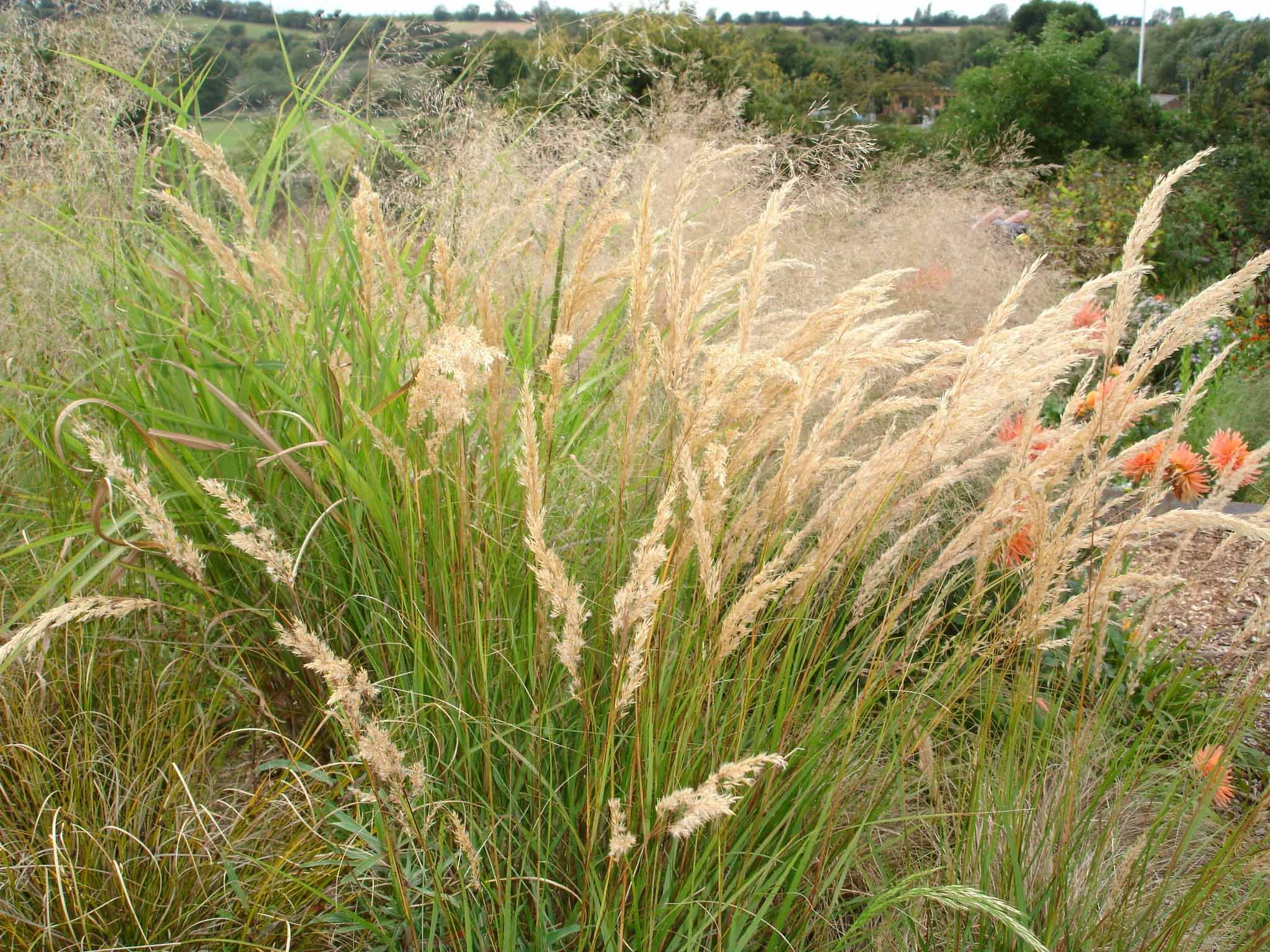 Calamagrostis brachytricha stipa autumn feather reed for Tall feather grass