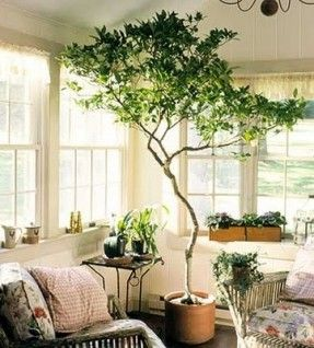 Indoor potted tree. I\'m always looking for ways to bring the ...