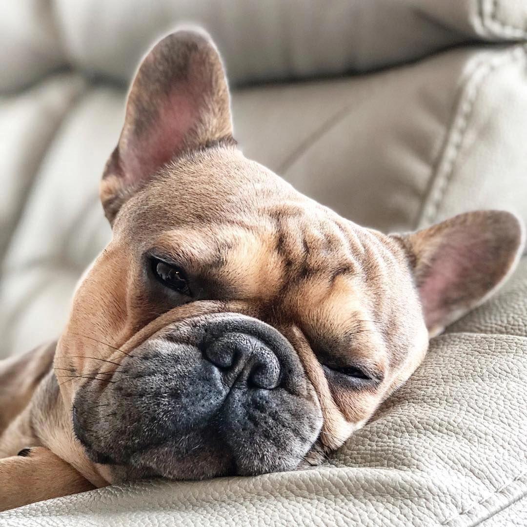 Bulldog Puppies French Bulldog Breed Bulldog Puppies Bulldog
