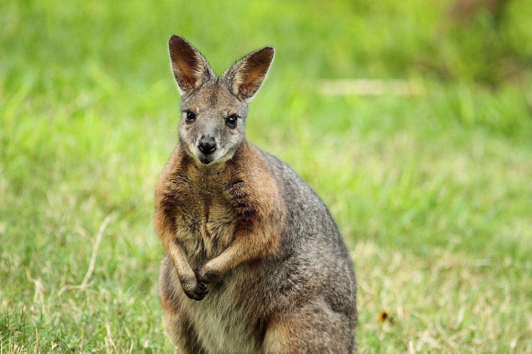 Животное похожее на кенгуру картинки