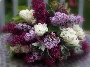Lilac flowers.  I want a bush of purple lilacs