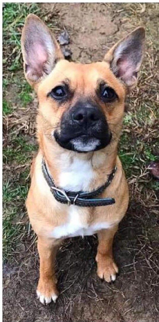Adopt Maggie on Dog adoption, French bulldog mix, Help