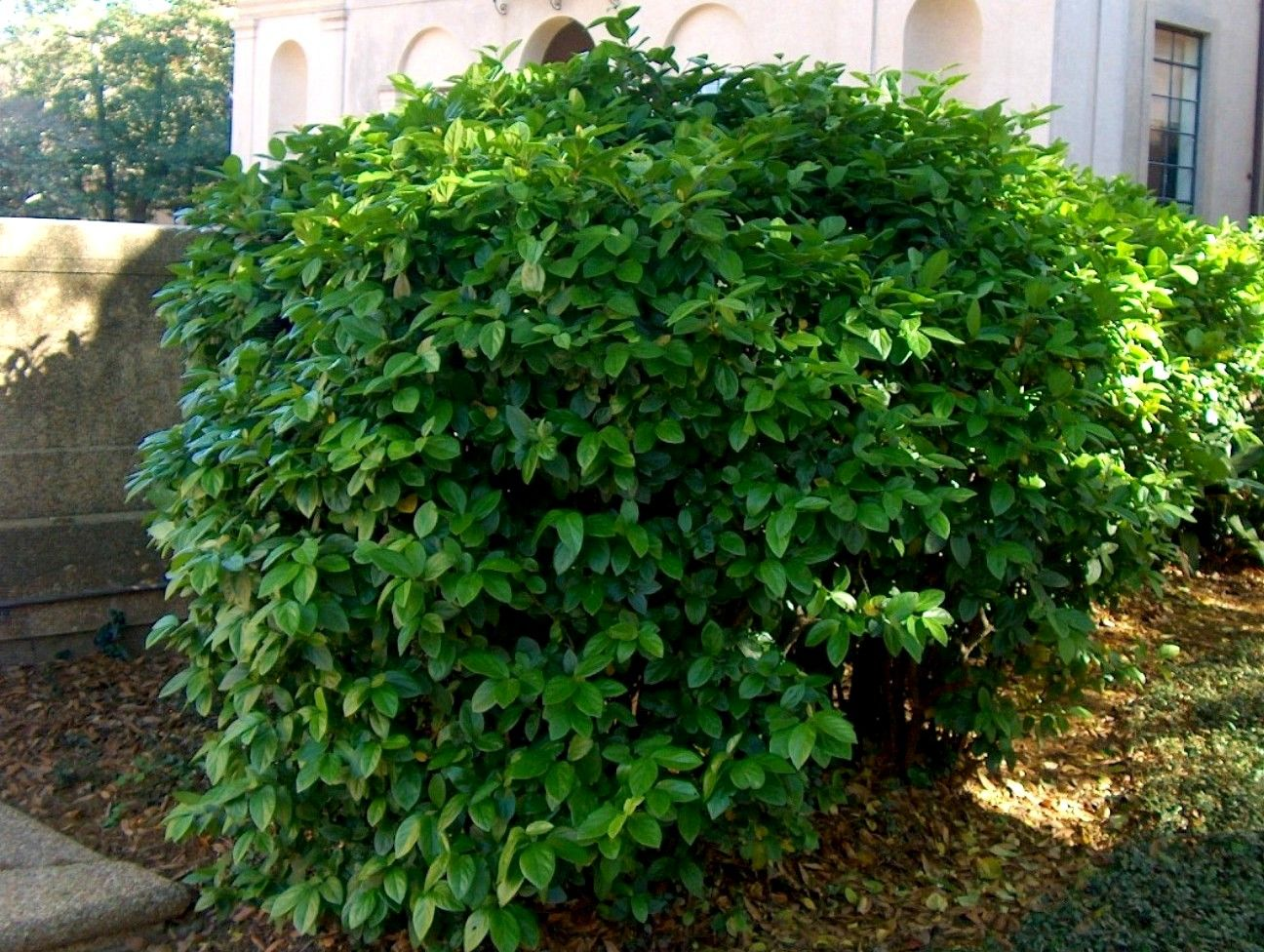 viburnum - 1 front yard under