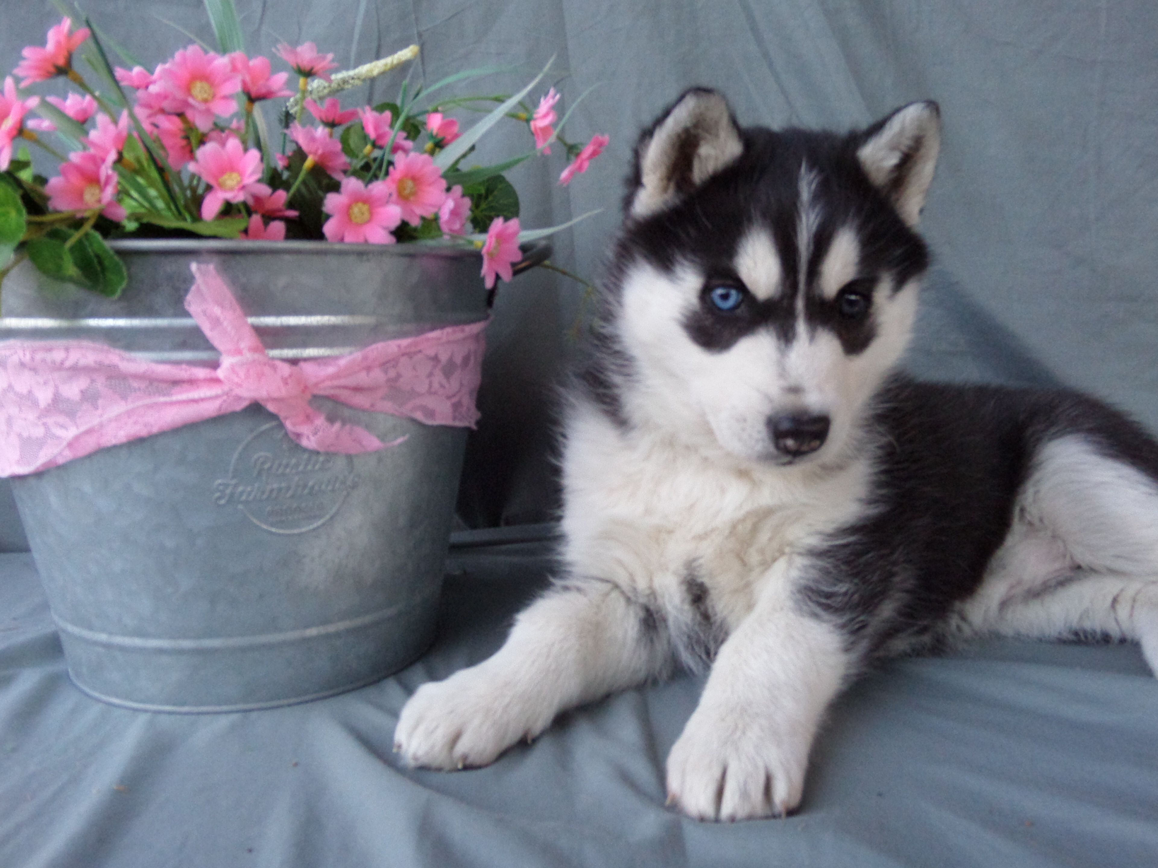 Obedient Siberianhusky Husky Puppies For Sale Lancaster