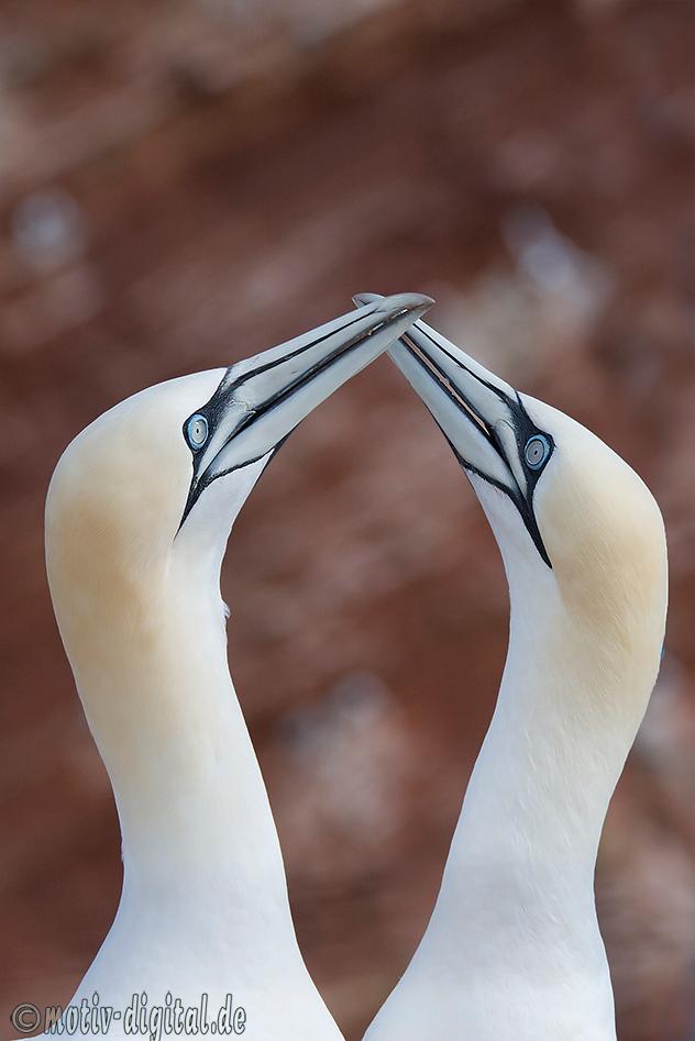 Basstölpel auf Helgoland bei der Paarung und beim Nestbau
