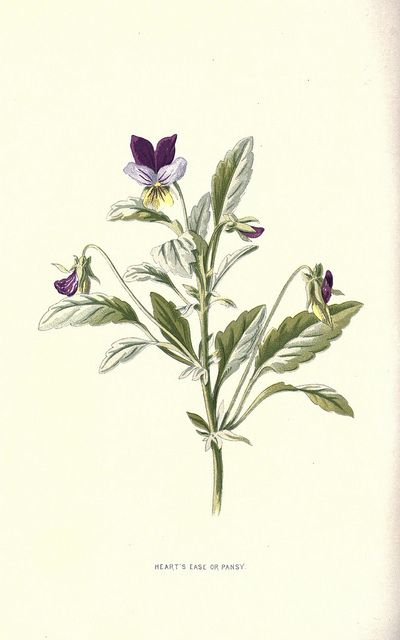violet print by BioDivLibrary, via Flickr