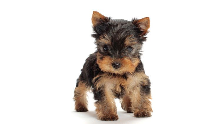 30 Small Hypoallergenic Dogs That Don T Shed Barking Royalty Terrier Dog Breeds Dog Breeds Dog Breeds That Dont Shed