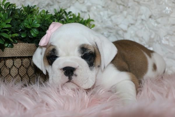 Puppies For Sale Petland In Overland Park Kansas City Puppies