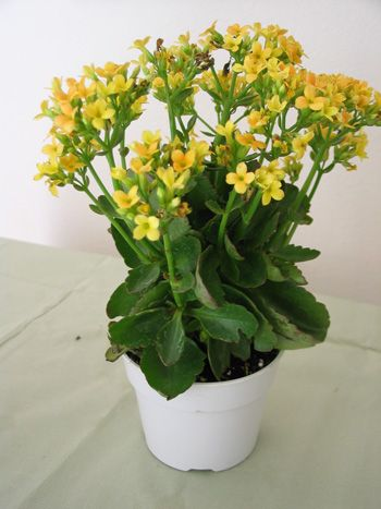 Kalanchoe Cute Little Yellow Flowers