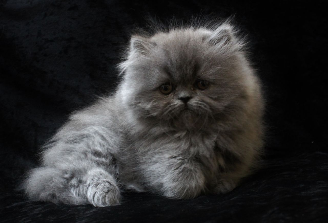 Adorable Pedigree Persian Kitten Blue female